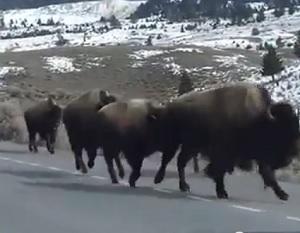 Yellowstone-Bison-Volcano
