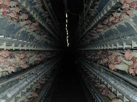 Chicken-Factory-Farm